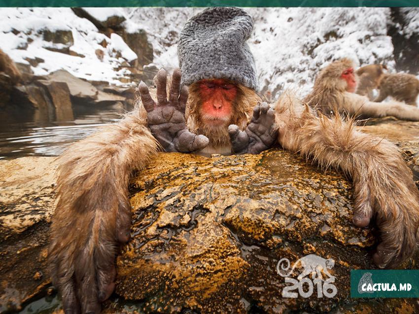 Календарь на 2016 год с обезьянами