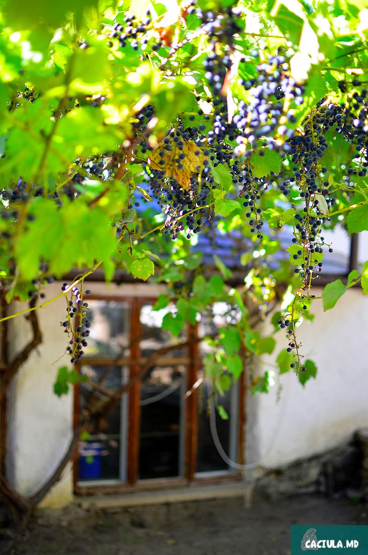 спеет столовый виноград для красного вина