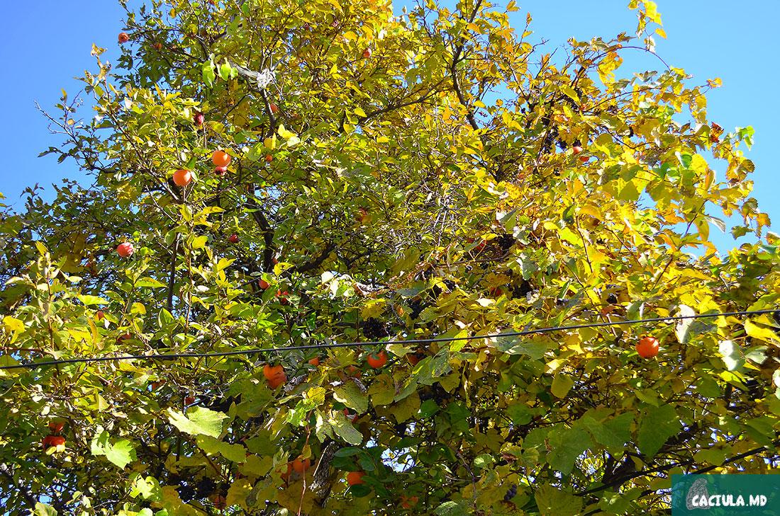 курага растет прямо на деревьях